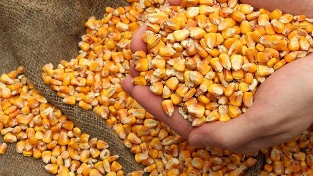 Продам кукурудзу з поля