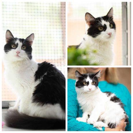 Ласковая кошечка Шери, черно-белая кошка, 2,5 года