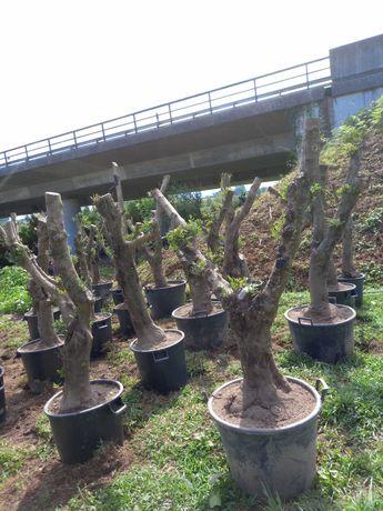 Reserve já a sua Oliveira! Últimas Unidades! /Plantas/Árvores/Jardim