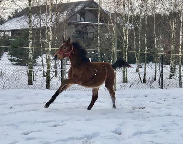Koń po CARPEDIEM poł brat Hades fire sp