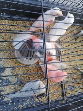Vendo canarias fêmeas prontas a criar