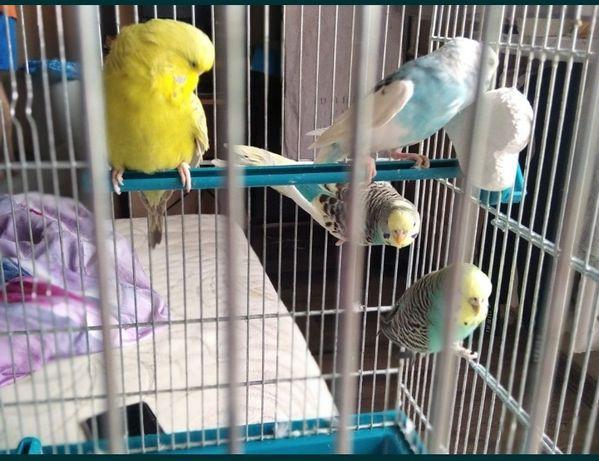 4 papugi faliste z klatką