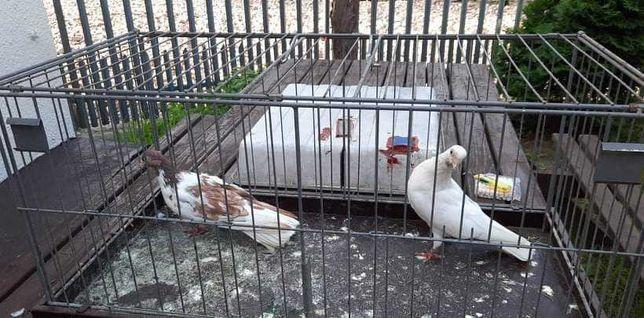 Zamojskie gołębie