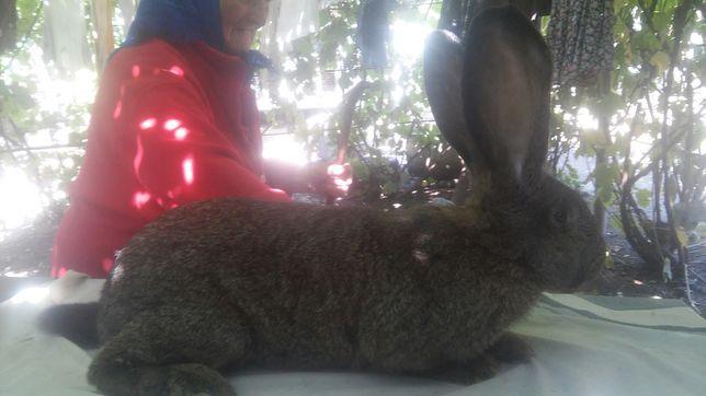 Продам породистих Кроликов