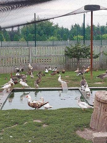 Kaczki dzikie 8tygodniowe
