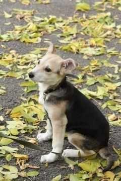 Щенок Лейла, ласковая игривая собака, 4 месяца