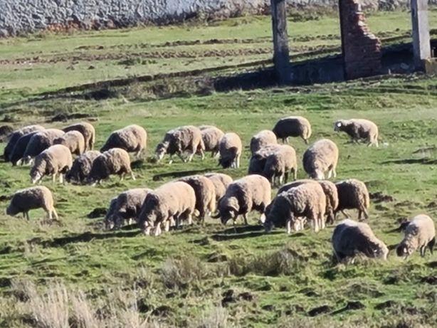 Подамо Вівці(барани, овечки)