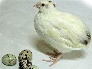 Перепилині яйця
