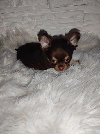 Chihuahua do rezerwacji