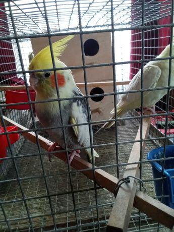 Papugi Nimfy/papuga nimfa