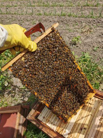 Pszczoły rodziny pszczele Warszawie zwykle na 11 ramkach ule odkłady