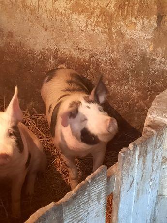 Продам свиней породи дюрок,живим весом (100)