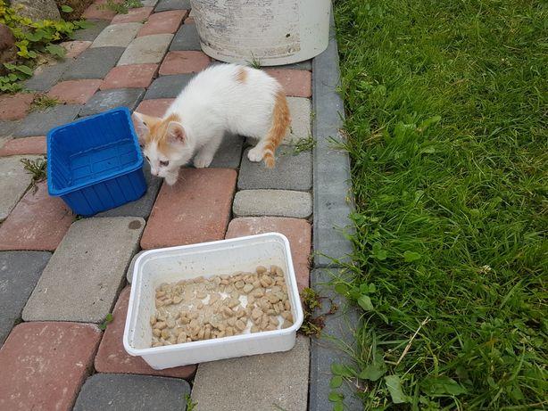 Śliczny biało rudy kotek szuka domu