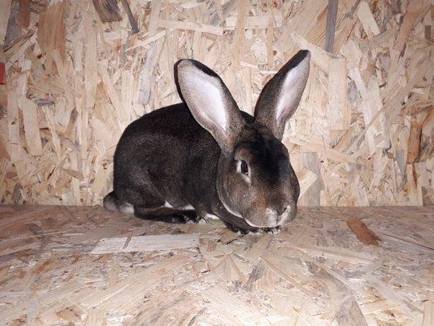 Рекс Кастор самчик 6.5міс кролі кролики
