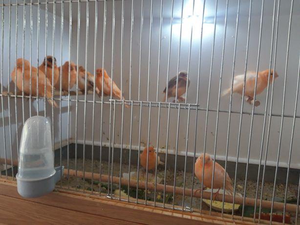 Kanarki młode tegoroczne z tego roku samiczki i samce różne