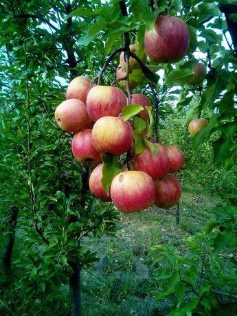 Яблочный сад 29 Га