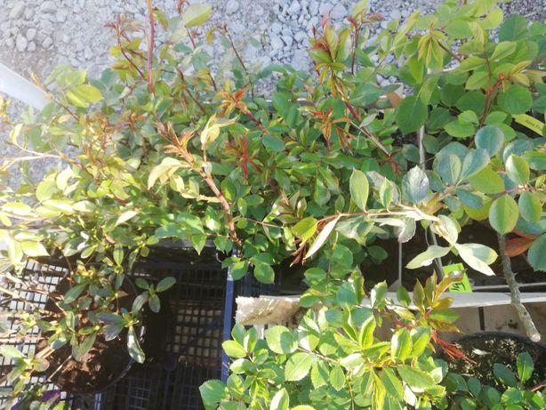 Krzewy wajagela tamaryszek maliny