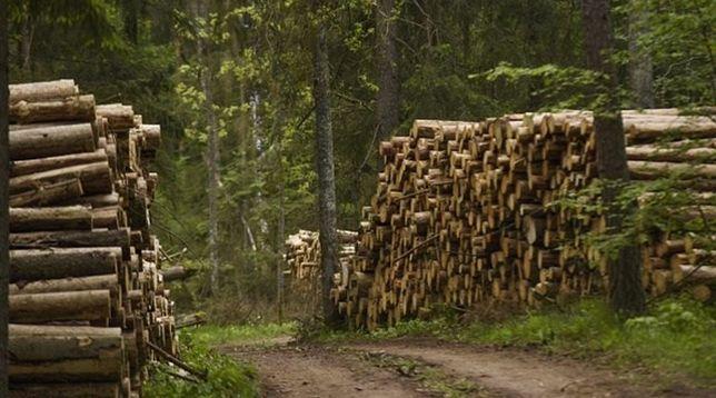 Corte e abate de arvores eucaliptos Pinheiros
