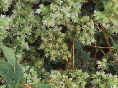 Oregão biológico cultivado 100% natural