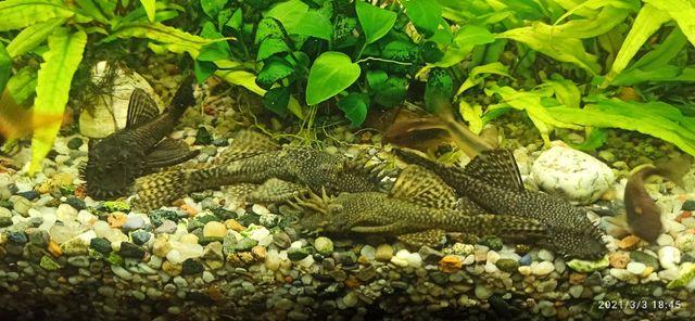 Dorosłe samce glonojada 10-12cm