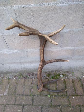 Poroże jelenia - zrzut 16-tak  2,80 kg