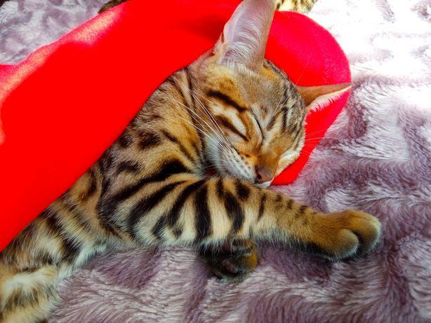 Kotki bengalskie gotowe do zmiany domu