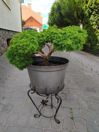 Нівакі з хвойних рослин