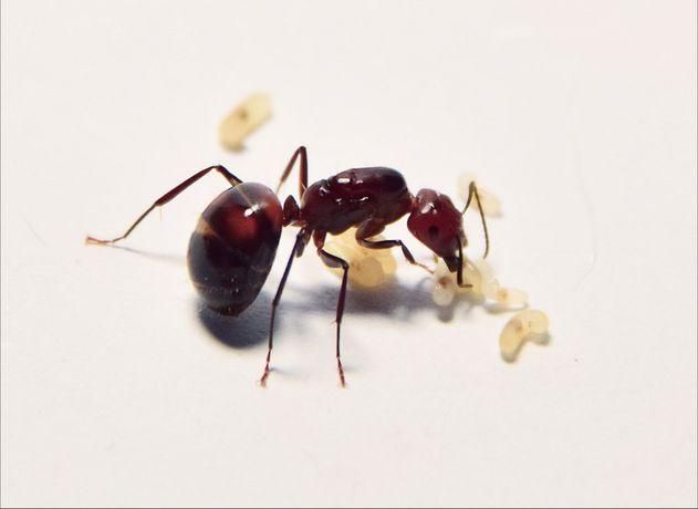 Camponotus nicobarensis (mrówki)