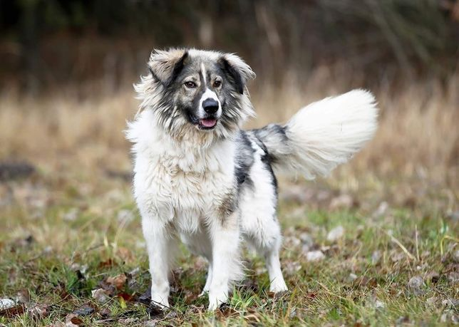 Piękny, duży pies do adopcji