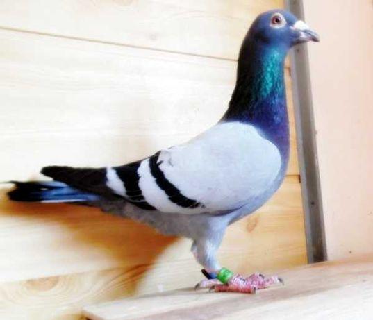 Gołębie Pocztowe!Jasny niebieski Dv+czip + tel-krótki Nr- Glazer!Okaz