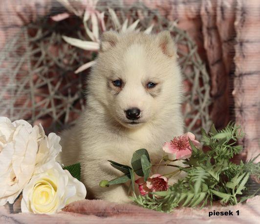 Siberian Husky piękne !!! z udokumentowanym pochodzeniem ZKwP