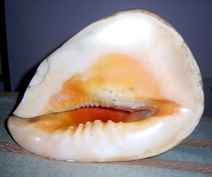 Ракушка океанічна натуральна Кассіс корнута (Cassis cornuta). Львов - изображение 1