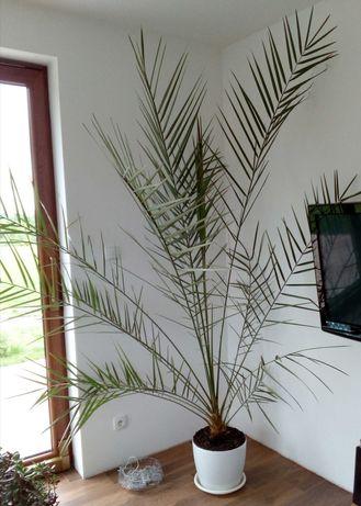 Daktylowiec kanaryjski (Palma królewska) wysoka piękna i orginalna .