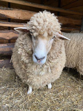 Owce rasy wielkopolskiej
