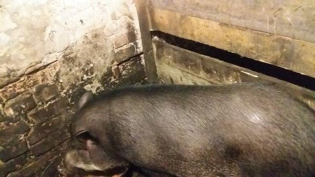 Продажа свиноматки