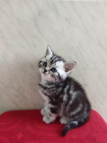 Мармурові шотландські кошенята від тата з родословною.