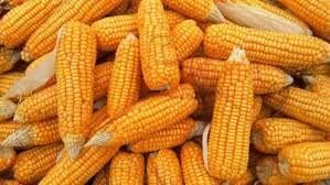 Nasiona Kukurydzy SY Kardona FAO 250 50 tys nasion