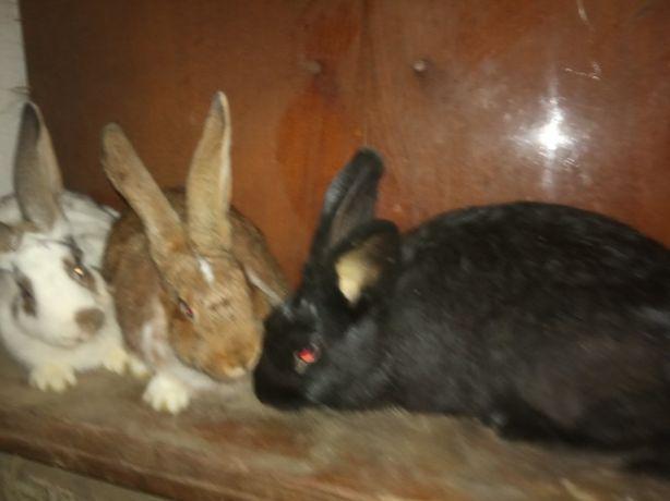 Кролики , 4 месяца (девочки)