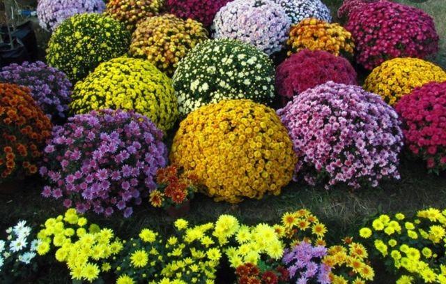 Хризантема мультифлора,готовые кусты осенью будет пышно цвести