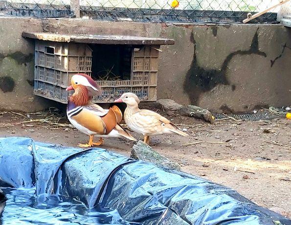 Patos perua orpington amarelo