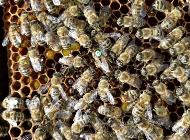 Карніка Пешетц. Принимаем заказы. Молодые матки. Пчеломатки.