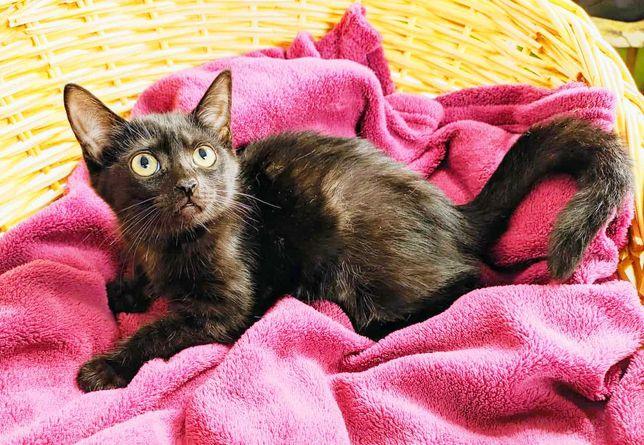 Черная пантера - кошечка Ника, 2 мес. Котенок, кошка