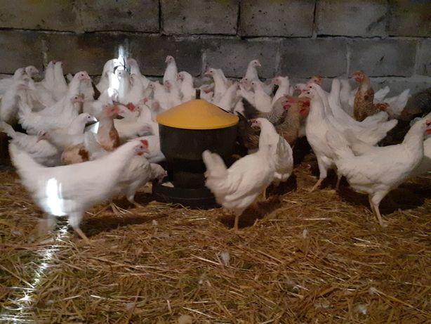 Młode kury nioski leghorn Rossa  kokoszki gęsi wolny wybieg
