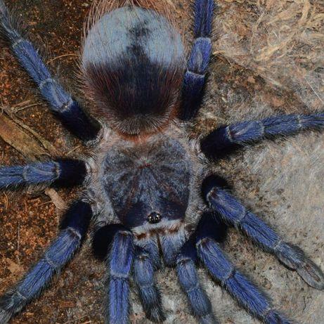 Самка паука птицееда Pterinopelma sazimai для новичков самовывоз