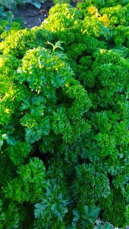 Продам пучки зелени: укропа, петрушки (15 руб.пучок)
