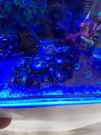 Koralowce  Zoanthus Nirvana