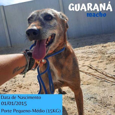 Cão Porte Pequeno-Médio (15kg) Para Adoção (Guaraná)