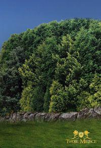 Przesłona zielona - Gazon Skalny - 8m Wysokie drzewa Color 8