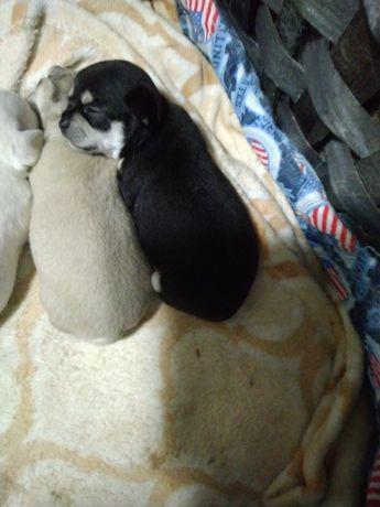Chihuahua macho , 350€ com lop