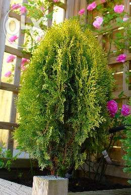 Plantas de Jardim TUIA DA CHINA